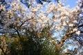 Mandelblüte 6.2.13-1