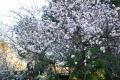 Mandelblüte 6.2.13-4